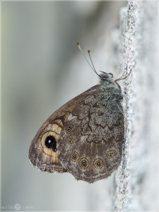 Large Wall Brown (Lasiommata maera) resting in summer
