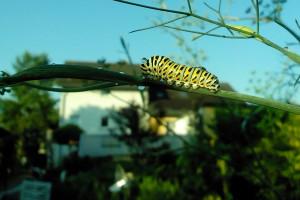 Schwalbenschwanz Raupe - Papilio machaon